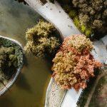 Viševekovni novosadski divovi: Spomenici prirode i svedoci istorije